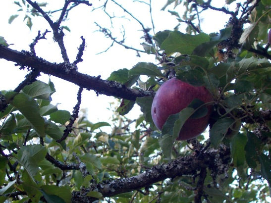 An unknown heirloom apple.
