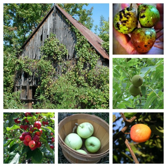 Abandoned farms are a wonderful place to find fruit