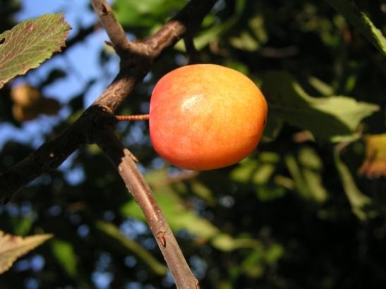 The wily wild plum.